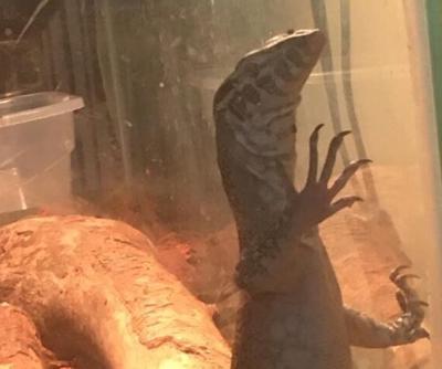 Monitor lizard.jpeg