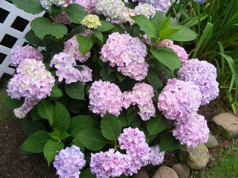 BACK TO THE ROOTS: Answering common questions about hydrangeas