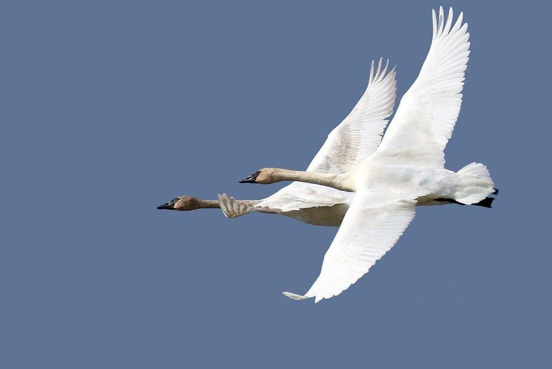 THE GREAT OUTDOORS: Keeping an eye on trumpeter swans