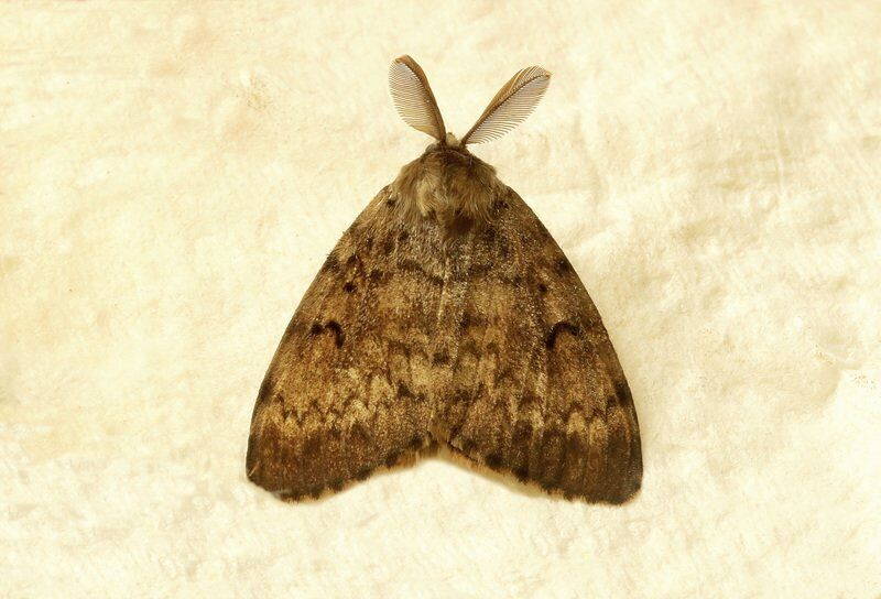 THE GREAT OUTDOORS: Gypsy moth sightings are cause for concern