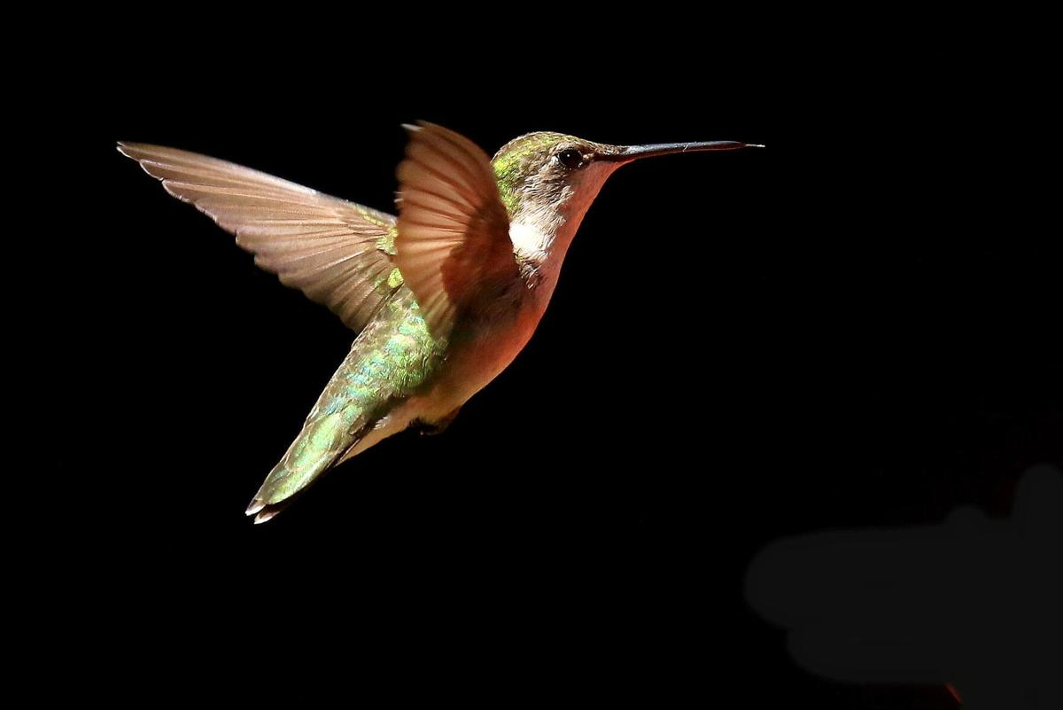DDhummingbird