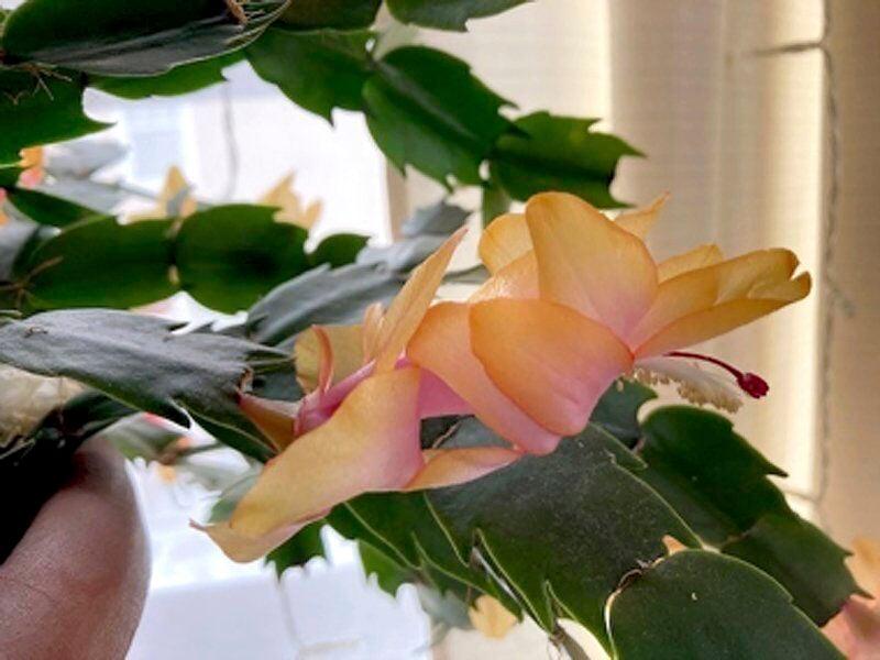 Holiday houseplants bring the tropics indoors
