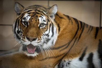 New tiger on display at Buffalo Zoo