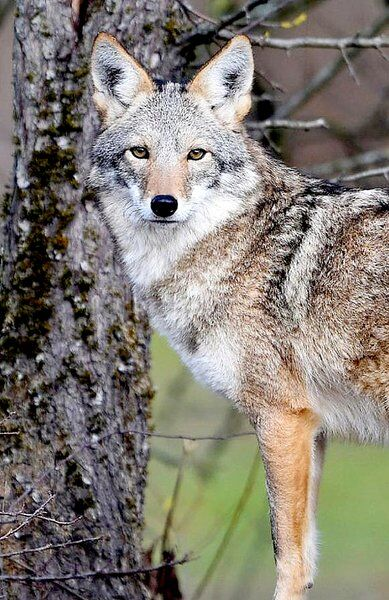THE GREAT OUTDOORS: The eastern coyote is here to stay