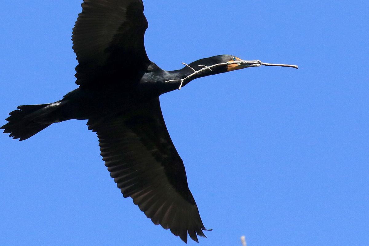 DDcormorant