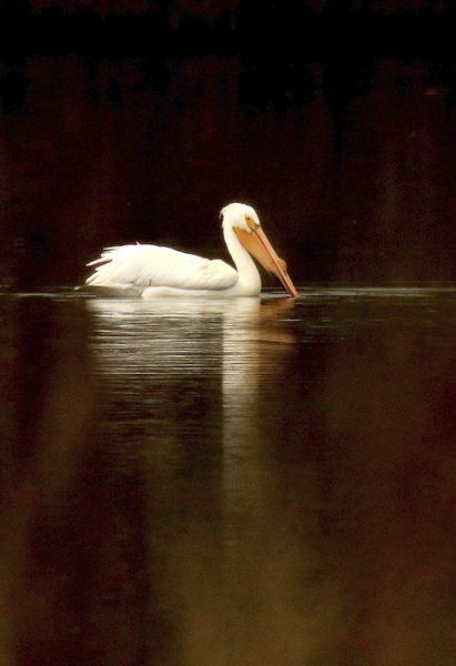 THE GREAT OUTDOORS: Rare white pelican spotted at Windmill Marsh