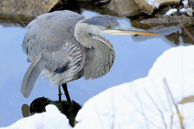 A strange encounter with a great blue heron