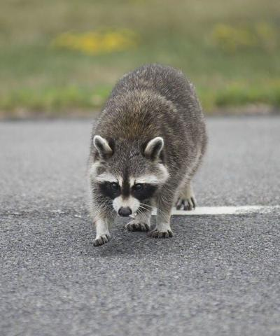 Pair of raccoons test positive for rabies