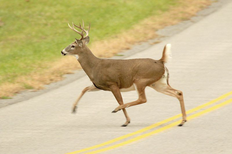 THE GREAT OUTDOORS: Deer season brings dangers for drivers