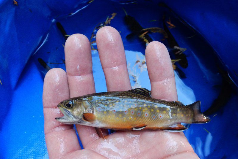 Trout found in upstate lake once soured by acid rain