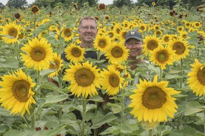 Sunflowers of Sanborn planning to reopen this year