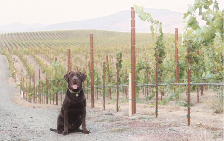 Coco in a vineyard.