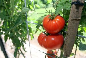 Catering company owner Don Meidinger maintains 'wall of tomatoes'