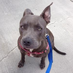 Pit bull euthanized after review