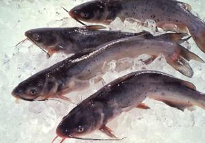 August is National Catfish Month; here's how to celebrate
