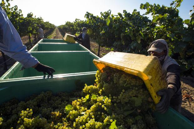 Despite extra work, some growers prefer harvesting by hand