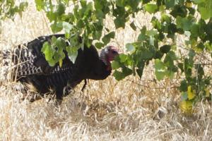 Trouble-making turkey in Lodi