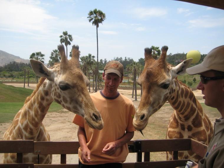 Feeding Giraffe's