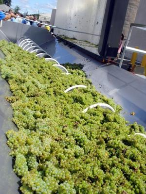 White grapes now being crushed in Lodi