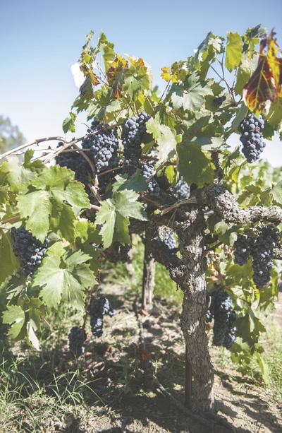 Is the popularity of Zinfandel slowly declining?