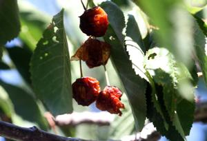 Drought devastates Southern California cherry crop, puts some growers out of business