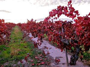 Alicante Bouschet, a thick-skinned grape, on the chopping block for some Lodi vintners