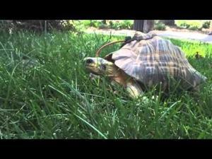 Cleo the tortoise