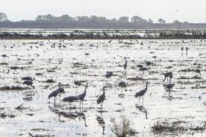 Flooded field serves up a feast for Sandhill cranes