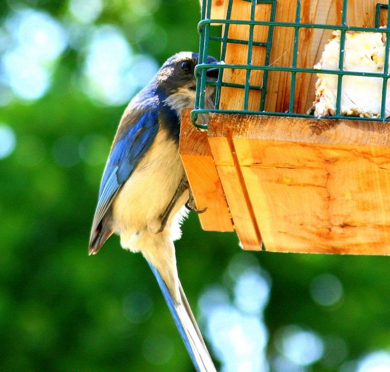 Caruso the BlueJay