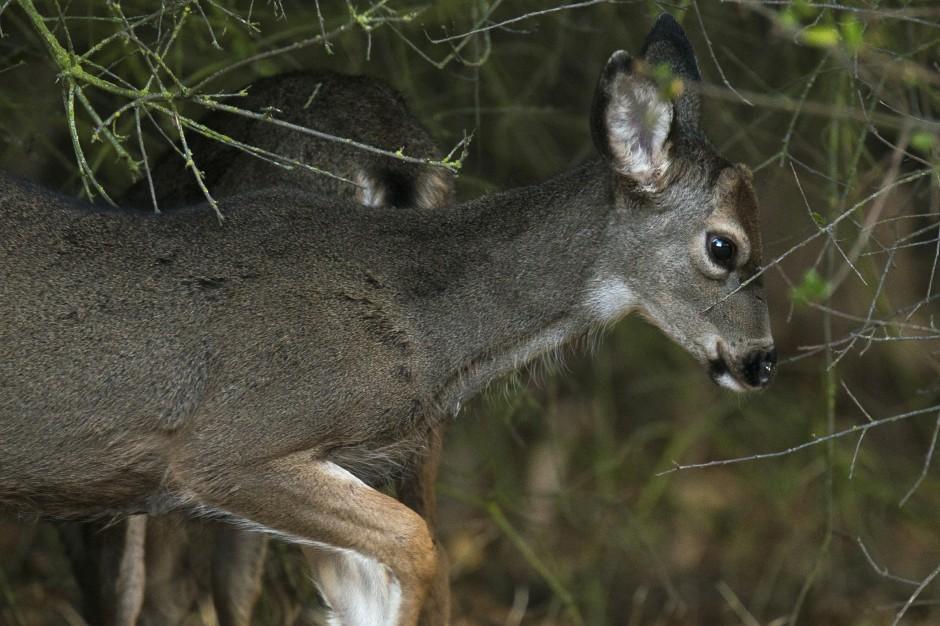 Stalking the elusive stag of Lodi Lake
