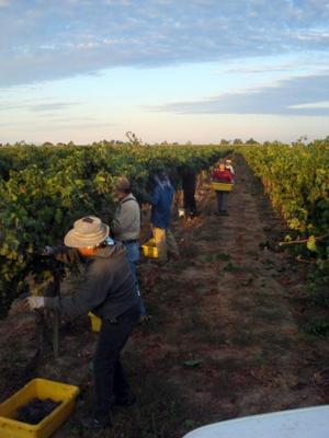 Harvesting Merlot from the Borra Vineyards backyard Home Ranch