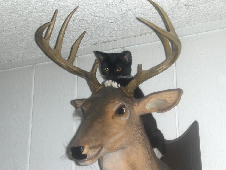 Black Bear Kills Mule Deer