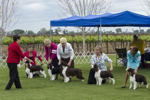Sycamore Lane Kennels in Lodi hosts Sacramento English Springer Spaniel Club dog show