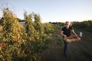 True Love Tomatoes in Lodi grows 47 kinds of tomatoes — get your fix this weekend
