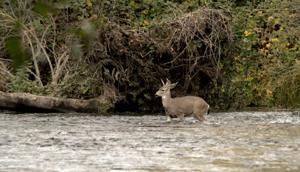 Despite dry year, Mokelumne River teeming with salmon