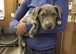 Abandoned puppy recovering after hit by car