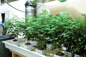 Police find thousands of dollars worth of marijuana in pair of Lodi apartments
