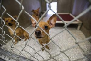 Lodi Animal Shelter overrun with Chihuahuas