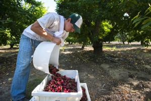 Cherry numbers are low this year — and growers aren't sure why