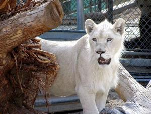 Big cats, some of them Hollywood stars, will prowl the Grape Festival