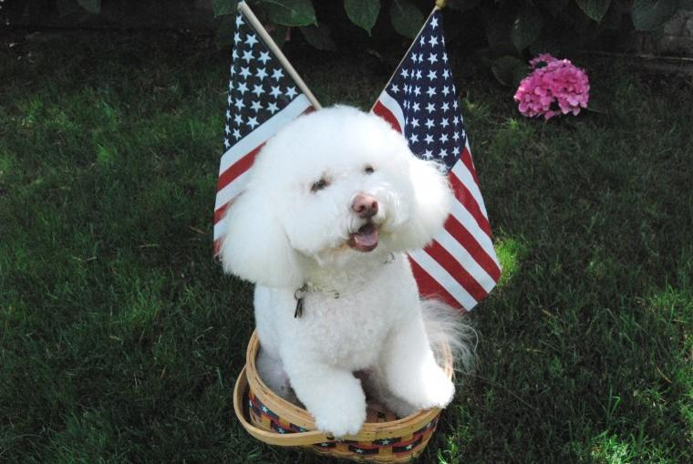 Teddy gets ready for the 4th of July