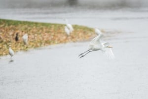 Storm Swamps Lodi: An egret takes flight at Beckman Park in Lodi during the heavy rain on Friday, Nov. 30, 2012. Beckman, Kofu and Henry Glaves parks filled with water during the storm.  - Dan Evans/News-Sentinel