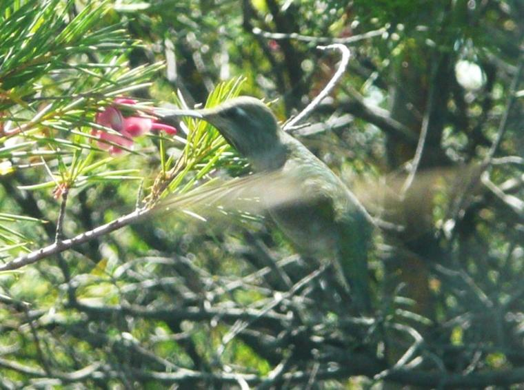 A LITTLE HUMMING BIRD