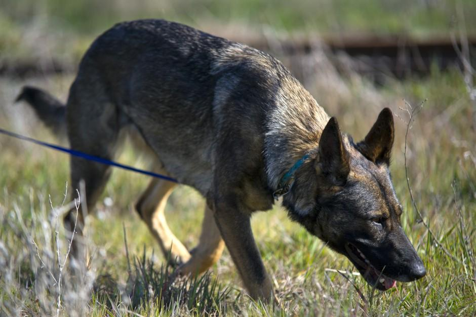 Cadaver dogs can play a key role in high-profile murder investigations