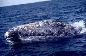 Catch a whale of a view at MacKerricher State Park