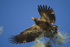 In search of a bald eagle, just miles from Lodi
