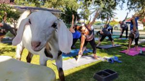 Spenker Winery brings goat yoga trend to Lodi