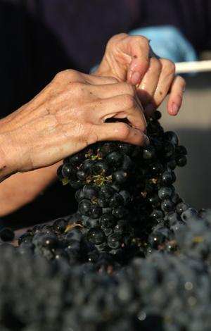 Handpicking grapes — an old world art — still alive in Lodi