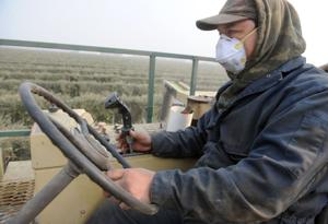 Lodi area's olives harvested, quickly turned into fresh oil