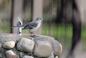 02_16_17_BACKYARD_BIRDS_15.JPG